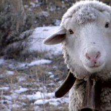 צלם לי כבשה: על הקולנוע הסנסוריאלי של לוסיין קסטיינג-טיילור וורנה פרבל